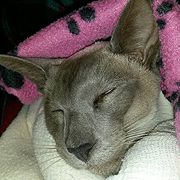 Mickey the Siamese at Farthing Veterinary Group